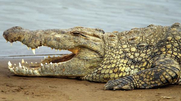 Найдены останки древнего крокодила-людоеда  возрастом 140 млн. лет