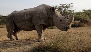 Ученые нашли способ возродить популяцию северного белого носорога