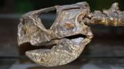Обнаружен окаменелый мозг динозавра