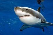 Возможно, человек произошел от акулы