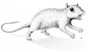 Найден новый вид древнего млекопитающего
