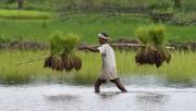 Климатические изменения могут ухудшить качество риса
